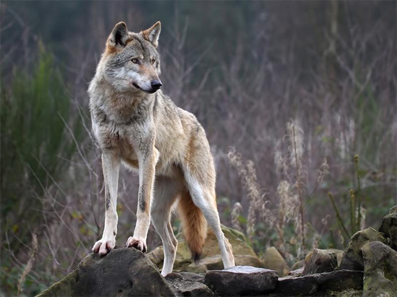 История с волком в городе на Херсонщине становится все более загадочной