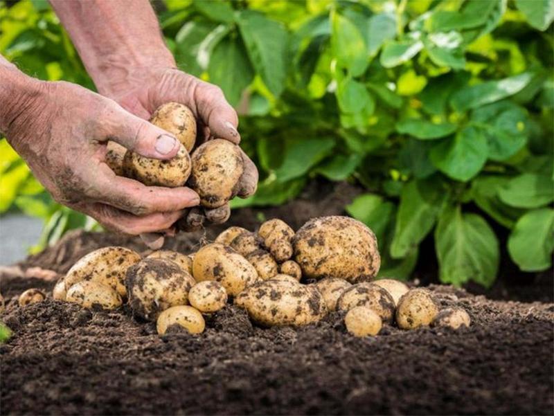 Выращивать картошку на Херсонщине стало затратнее