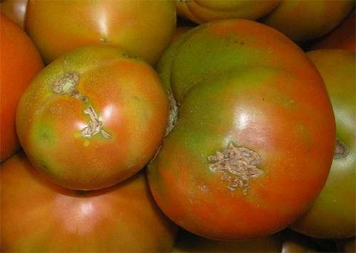 Крымчанам советуют не завозить херсонские томаты