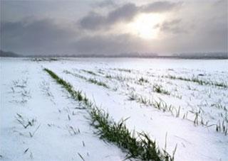 Ожеледиця та складні погодні умови поки не мають негативного впливу на стан озимих культур на Херсонщині