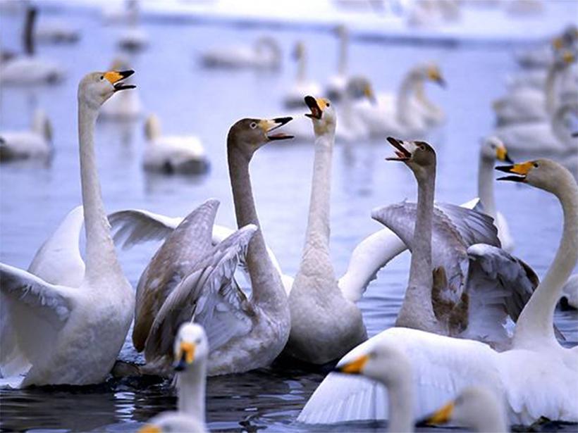 Гигантские стаи лебедей обосновались на Херсонщине