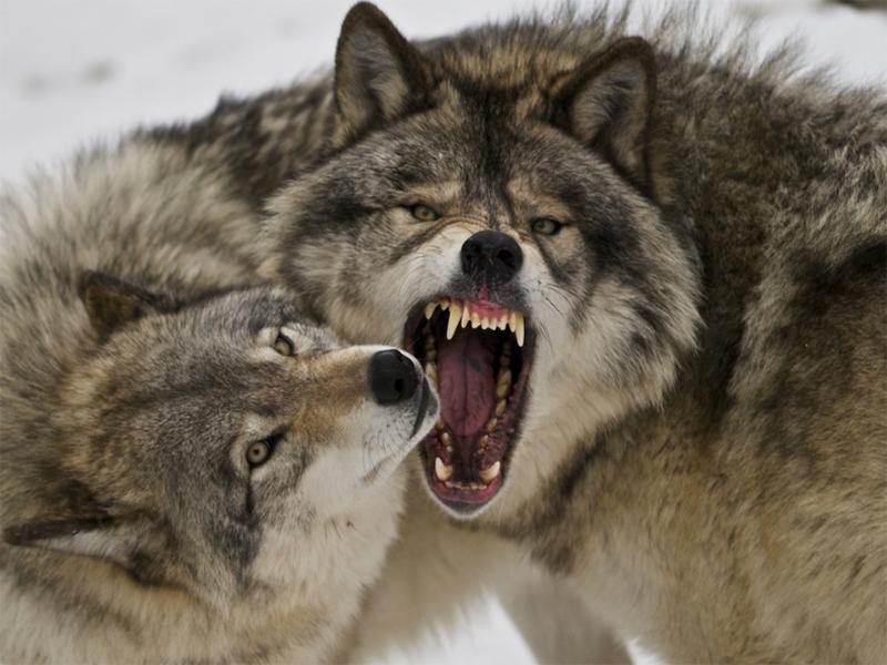 Новые нападения волков на Херсонщине