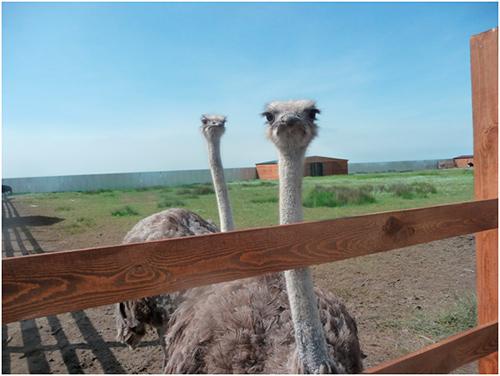 Из-за аномального тепла на Херсонщине даже страусы яйца несут