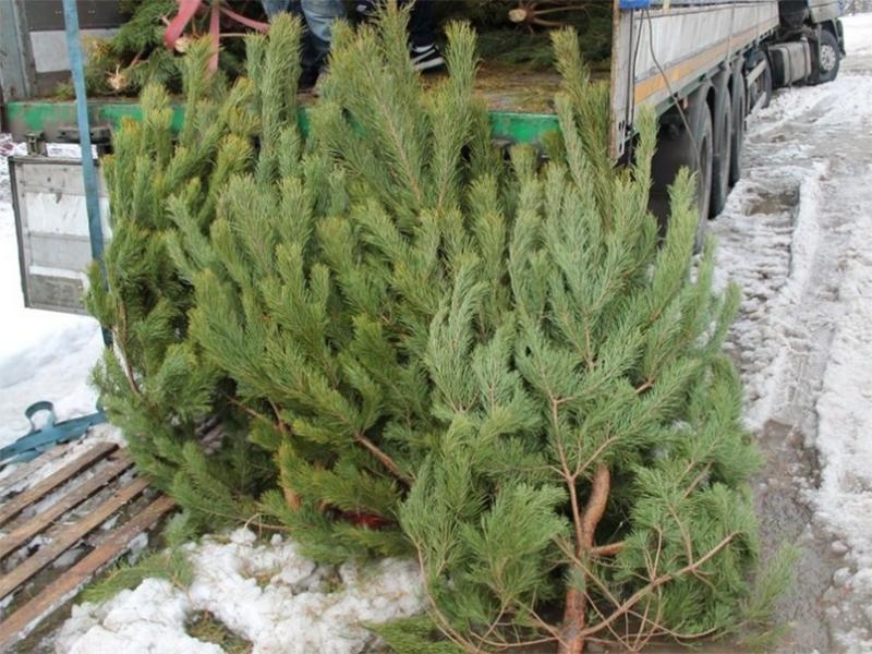 На новогодних елочках лесхозам Херсонщины разбогатеть не удалось