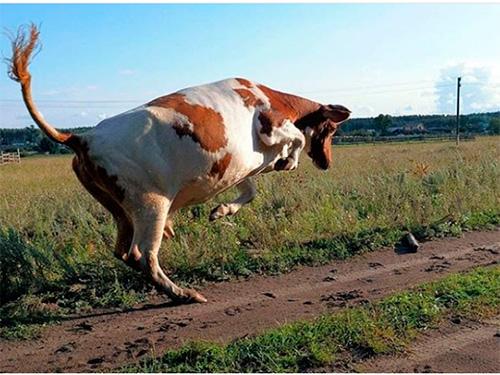 На Херсонщине корова убила пенсионера