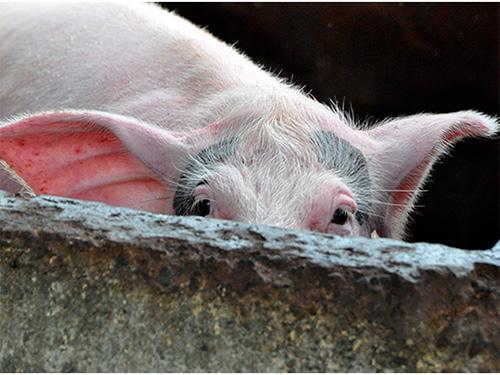 В Олешках рахують свиней
