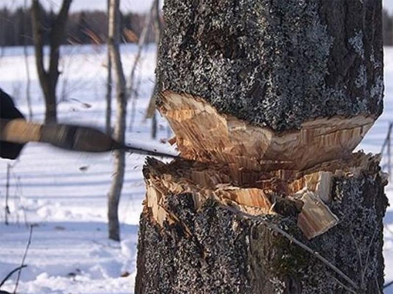 Браконьерская вырубка акациевых лесов в разгаре на Херсонщине