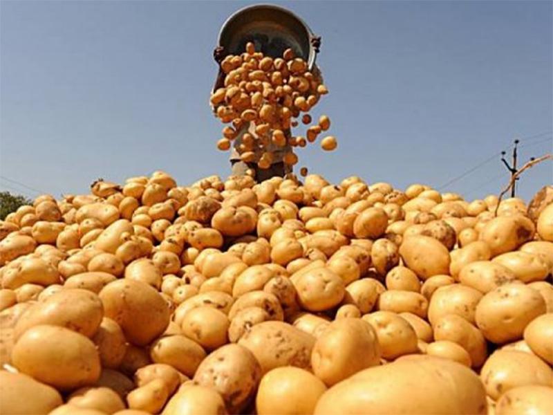Херсонська картопля не гірша