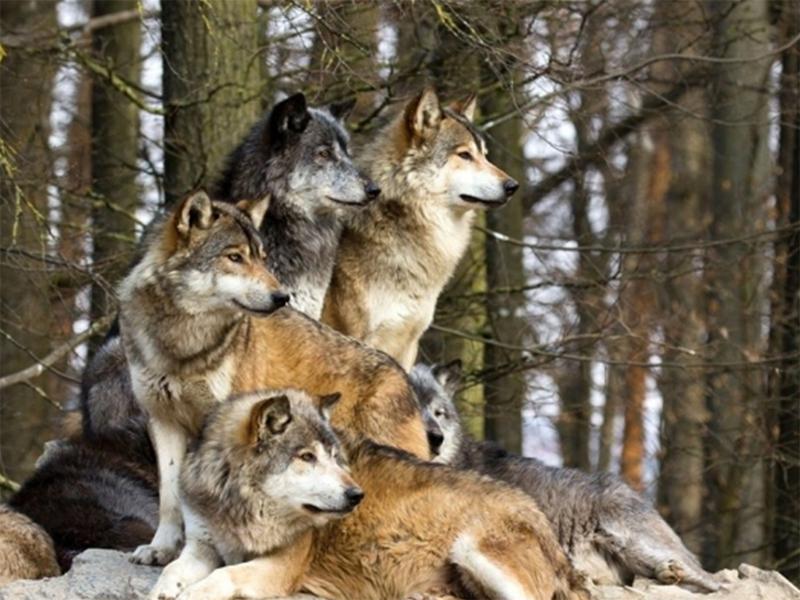 Херсонщина стала раем для волков