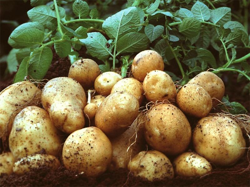 На Херсонщині гарна картопля