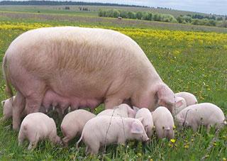 «Свинское дело» на Херсонщине живет и продолжается