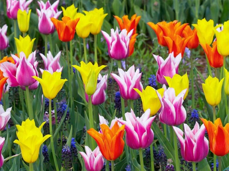 На Херсонщині шахраї намагаються заробити на фестивалі тюльпанів, який не відбувся