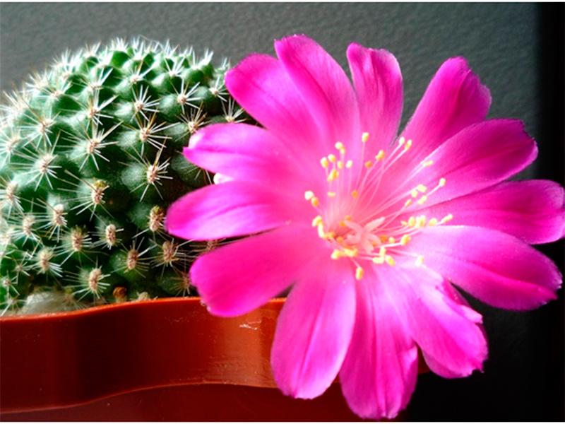 Кактус ведь тоже цветок