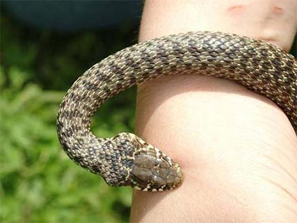 Гадюка укусила змеелова на Херсонщине