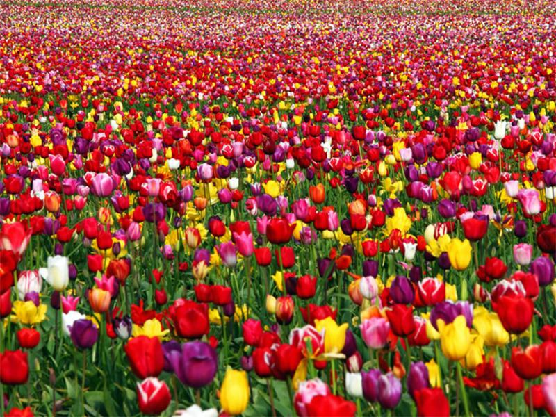 На Херсонщині пройде агро-тур, а не фестиваль тюльпанів