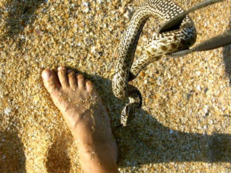 Напади отруйних змій почастішали на Херсонщині