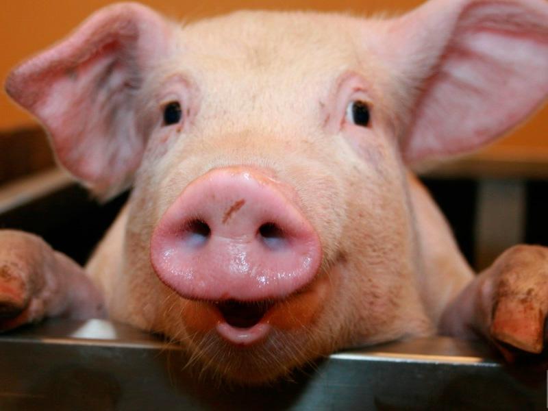 Чума свиней не подтвердилась в селе на Херсонщине