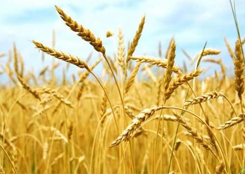 89 % посевов ранних зерновых Херсонщины в хорошем состоянии
