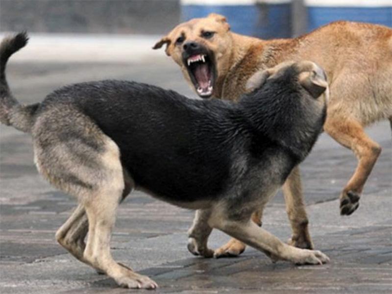 На Шуменському безпритульні собаки напали на пенсіонерку