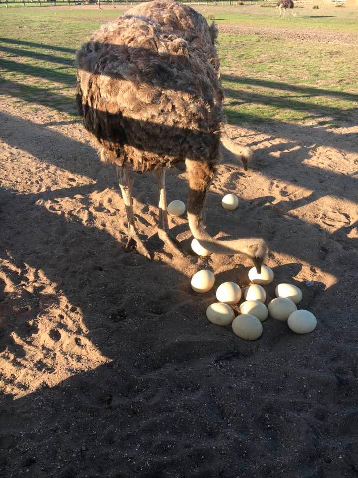 Курортники с Херсонщины повезут страусиные яйца
