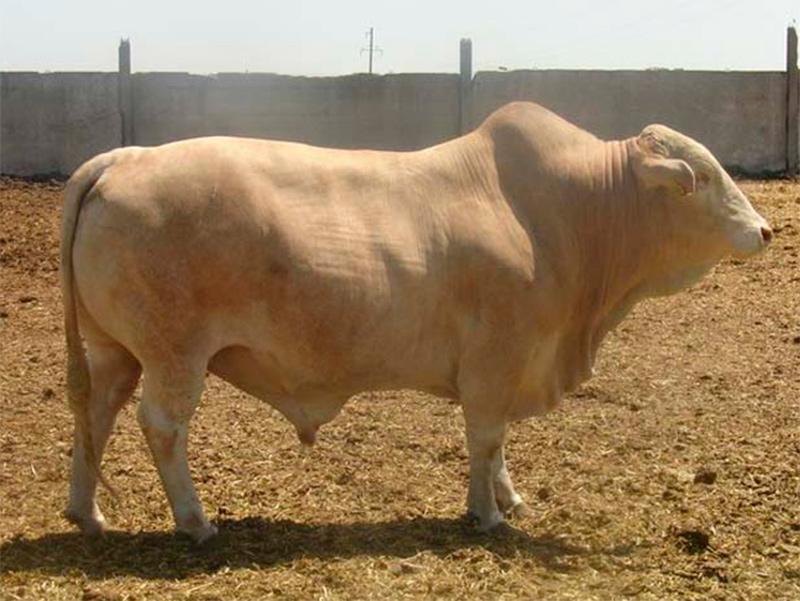 На Херсонщині вирощують худобу для делікатесних страв