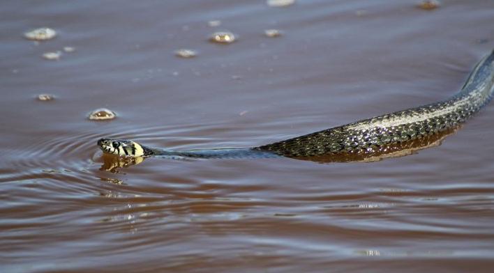 Під Херсоном плавець зі змією не розминувся