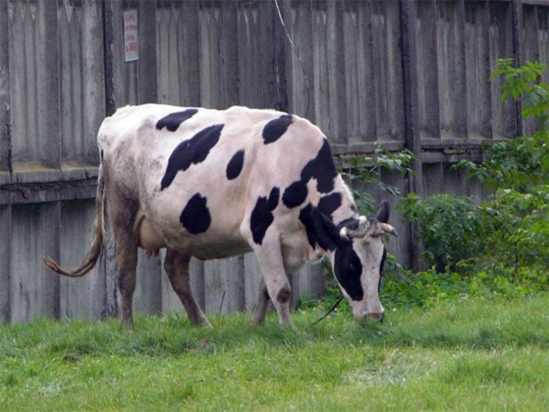 Підгодівля дотаціями корів на Херсонщині не рятує