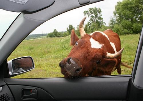 Корова забодала легковушку на курорте Херсонщины