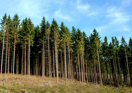Рукотворні ліси Херсонщини доїдають шкідники