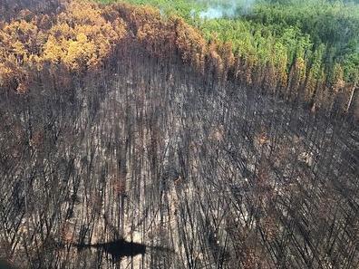 Рукотворні ліси на Херсонщині перетворюються на «недоїдки»