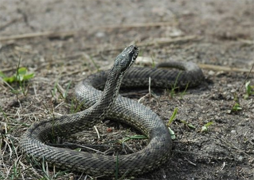 """""""Кориду"""" з отруйною змією влаштували дітлахи на Херсонщині"""
