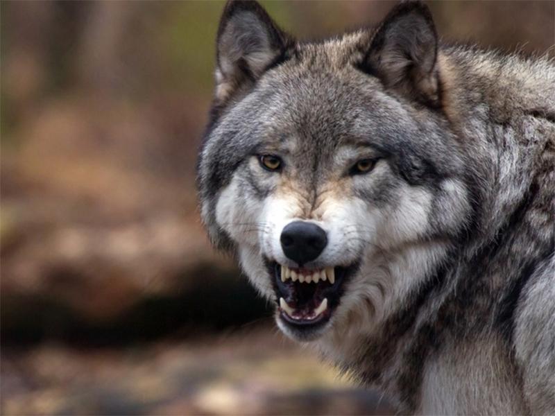 Мешканець Голопристанського району, до якого у двір зайшов вовк, був вимушений віддати звіру свою вечерю
