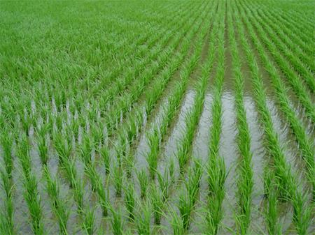 На Херсонщині загинула ціла плантація рису