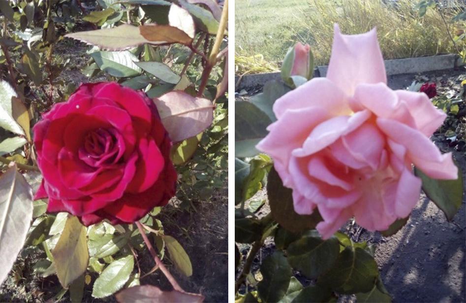На херсонском курорте высадили розарий