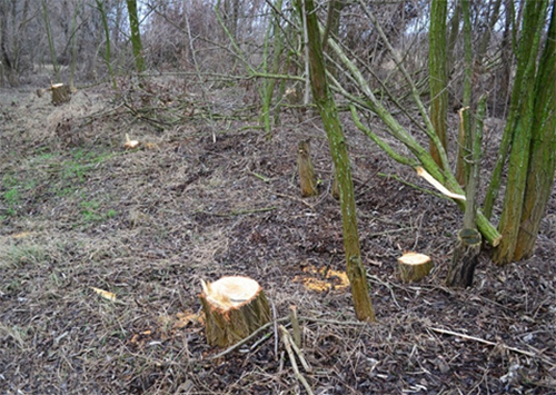 На Херсонщине варварски уничтожают лес!