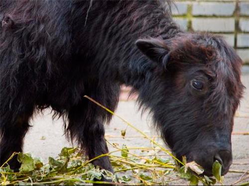 На Херсонщину приехали тибетские яки