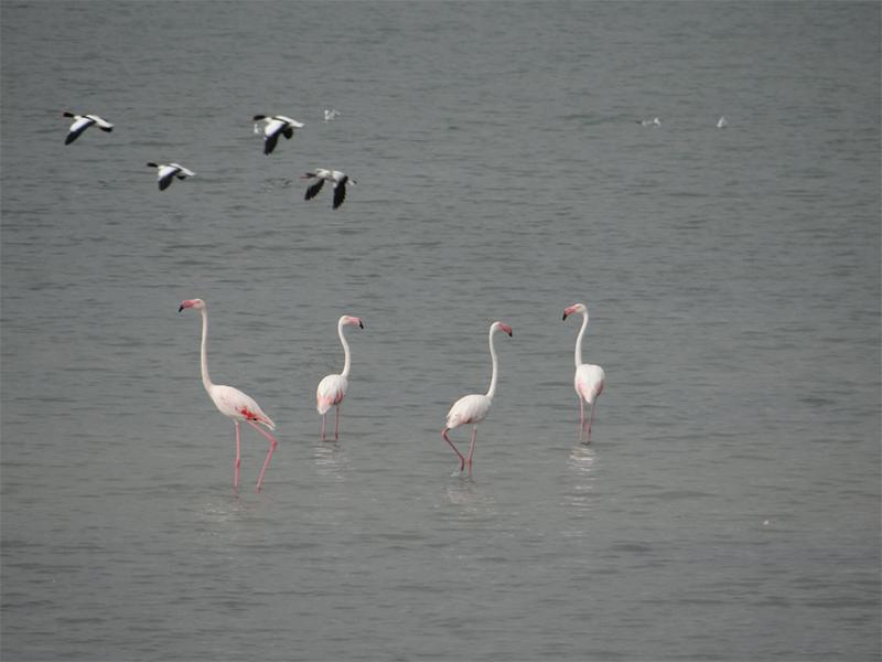 На Арабатской стрелке появилась стая розовых фламинго
