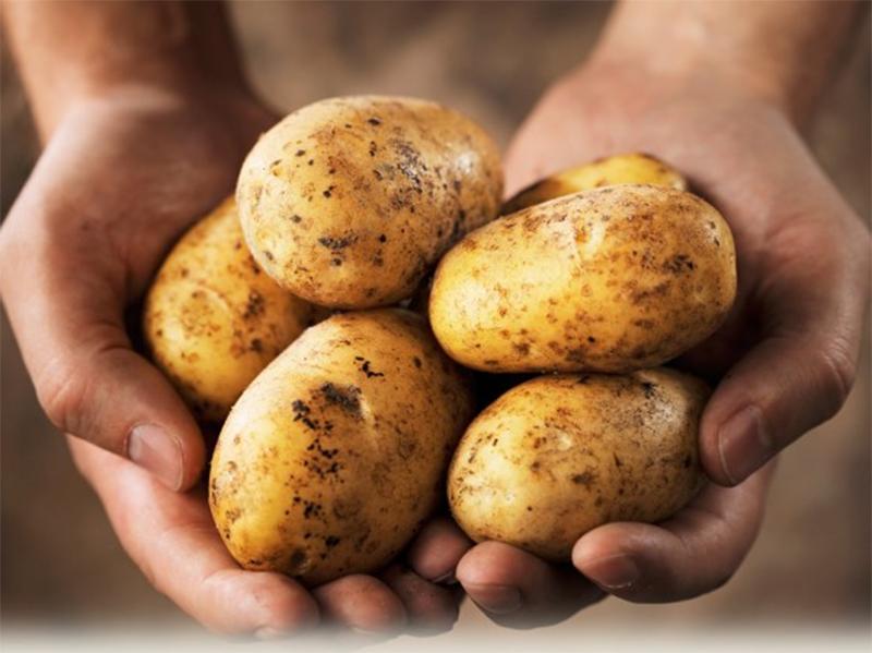 Новый гибрид завалит Херсонщину картошкой