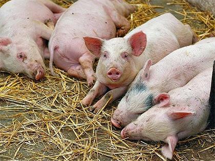 Чума «напала» на одну из крупнейших свиноферм Херсонщины