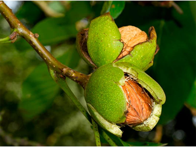 На Херсонщине за орехи платят здоровьем