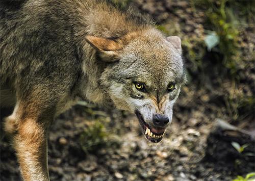 Курорты Херсонщины обживают волки и шакалы