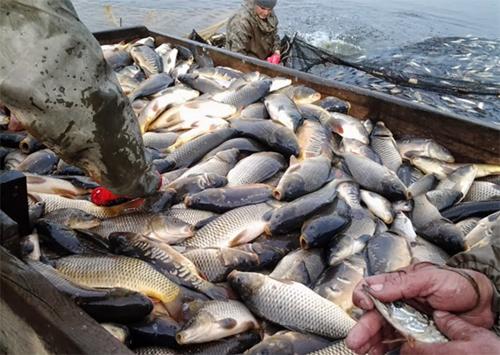 За кошти користувачів здійснено зариблення нижньої частини Каховського водосховища