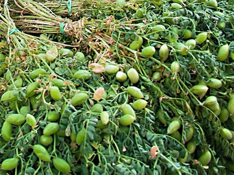 Часть урожая экзотической культуры потеряла Херсонщина