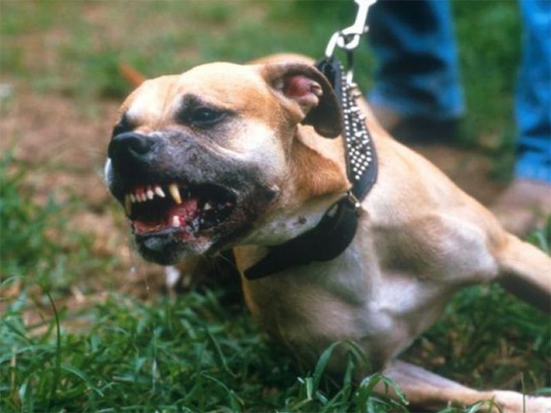 Херсонку погризли бійцівські собаки