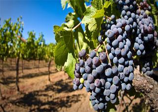 На Херсонщині рекордний врожай винограду