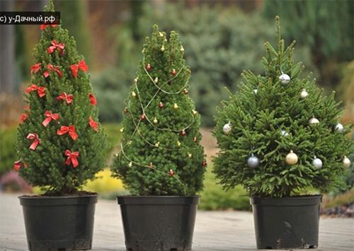 На Херсонщине елки заменят можжевельником
