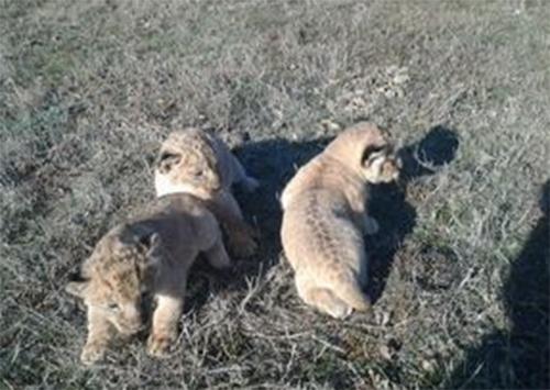 Троє берберських левів народилися у сафарі-парку на Херсонщині
