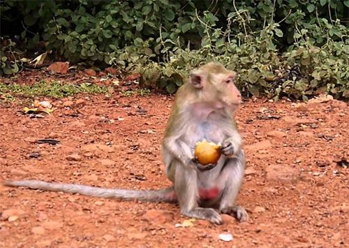 Мавпочок на Арабатській стрілці годують «сльозоточивим» овочем