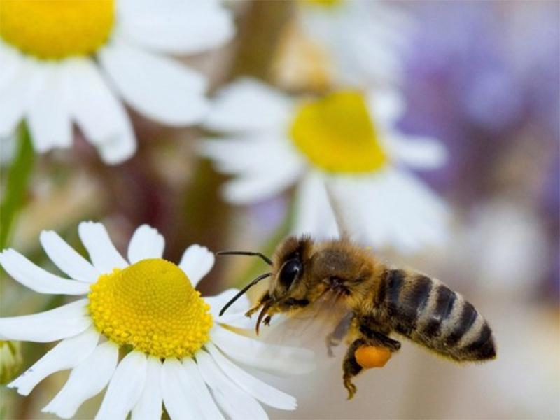 Херсонщина: бджоли над полем - це не тільки мед, а й збільшення врожайності