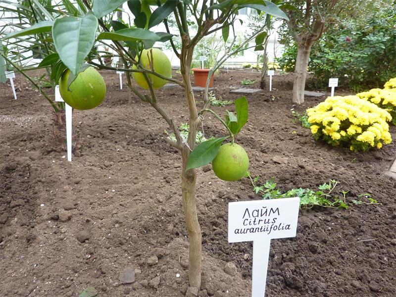 Под Херсоном вырастили плоды лайма